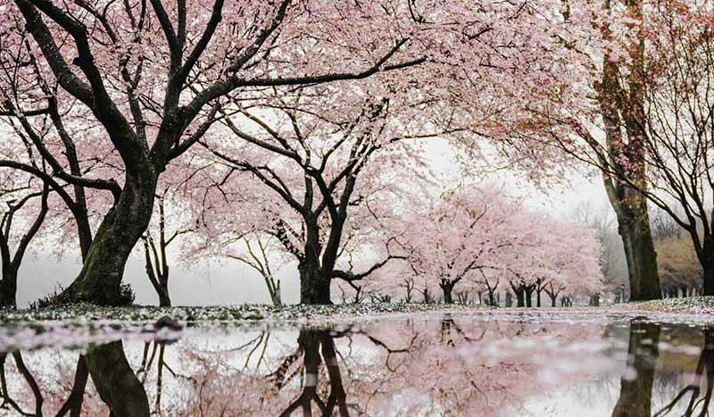 Reflexion blühender, japanischer Kirschbäume im Wasser.