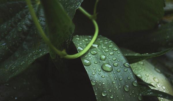 Blätter, die Regenwasser aufgefangen haben.